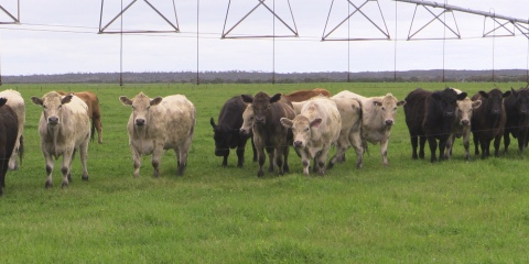 Beef Cattle Compost on Irrigated Pasture
