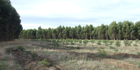 Examining soil health on comparative demonstration plots post first and second rotation bluegum plantations