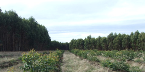 Bluegum realitiy – ensuring sustainable conversion of forestry land to crop and pasture