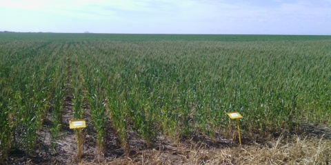 Nutrient Use Efficiency Demonstration Site R3 – Wongan Hills