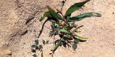 Creating a dual purpose biodiverse sandalwood and forage shrub grazing system