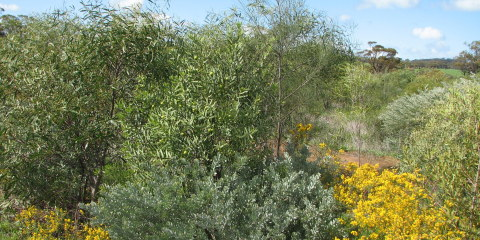 Biodiverse Agroforestry – sandalwood and forage shrubs creating a wildlife corridor