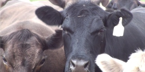 Using cattle feedlot solid waste to increase soil organic carbon and nutrient status