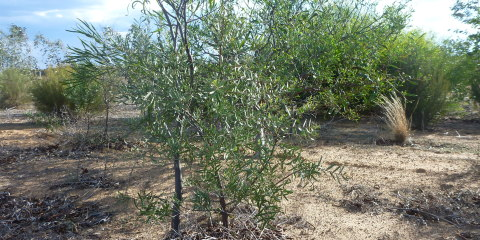 Biodiverse Agroforestry – sandalwood creating a wildlife corridor
